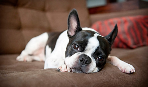 بوستون تریر-Boston Terrier