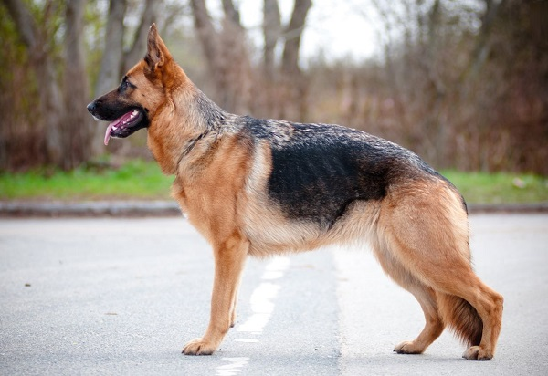 [تصویر:  German-Shepherd-1.jpg]