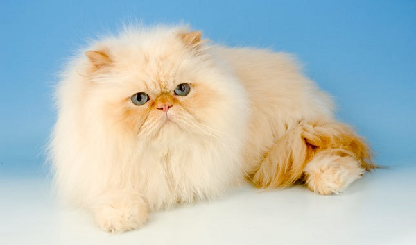 [عکس: Persian-cat-1.jpeg]